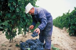 Vendimiando. FOTO: C.R.D.O.Ca. Rioja. (photo: )