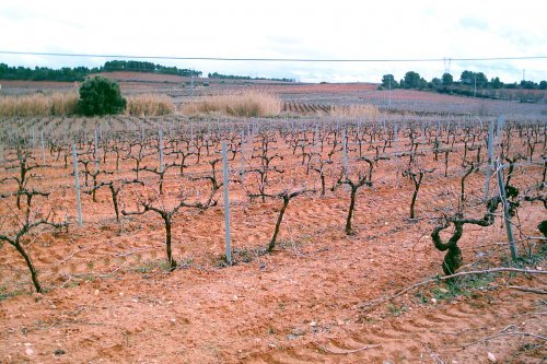 Plantación en espaldera en la zona de Utiel-Requena. (photo: )