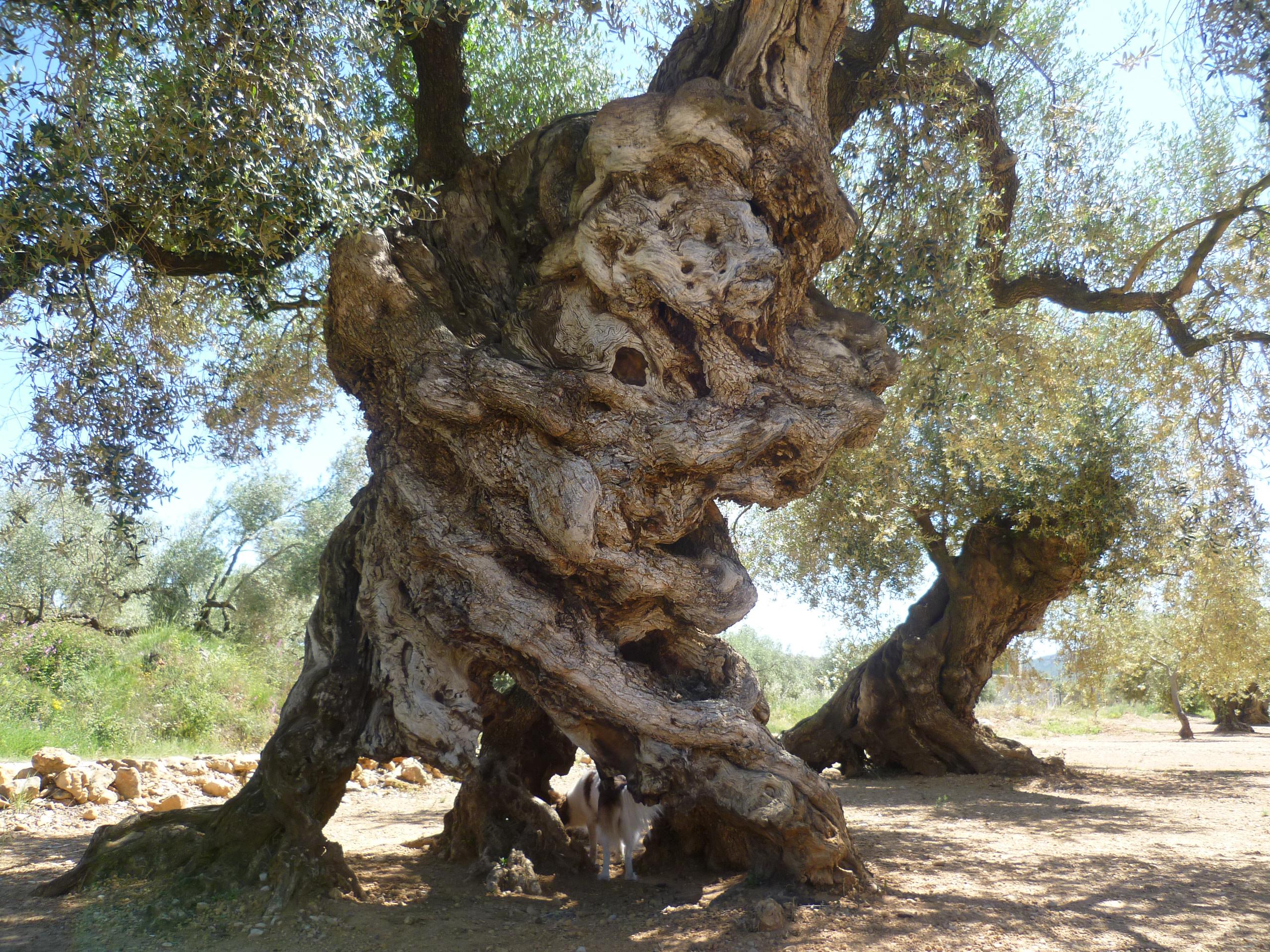 Los olivos del territorio del s nia reciben el premio - Compra de olivos centenarios ...